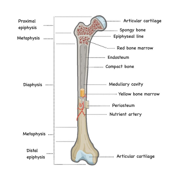 diagram showing the anatomical structure of bone using the femur as an example and providing the names of all of the different structures
