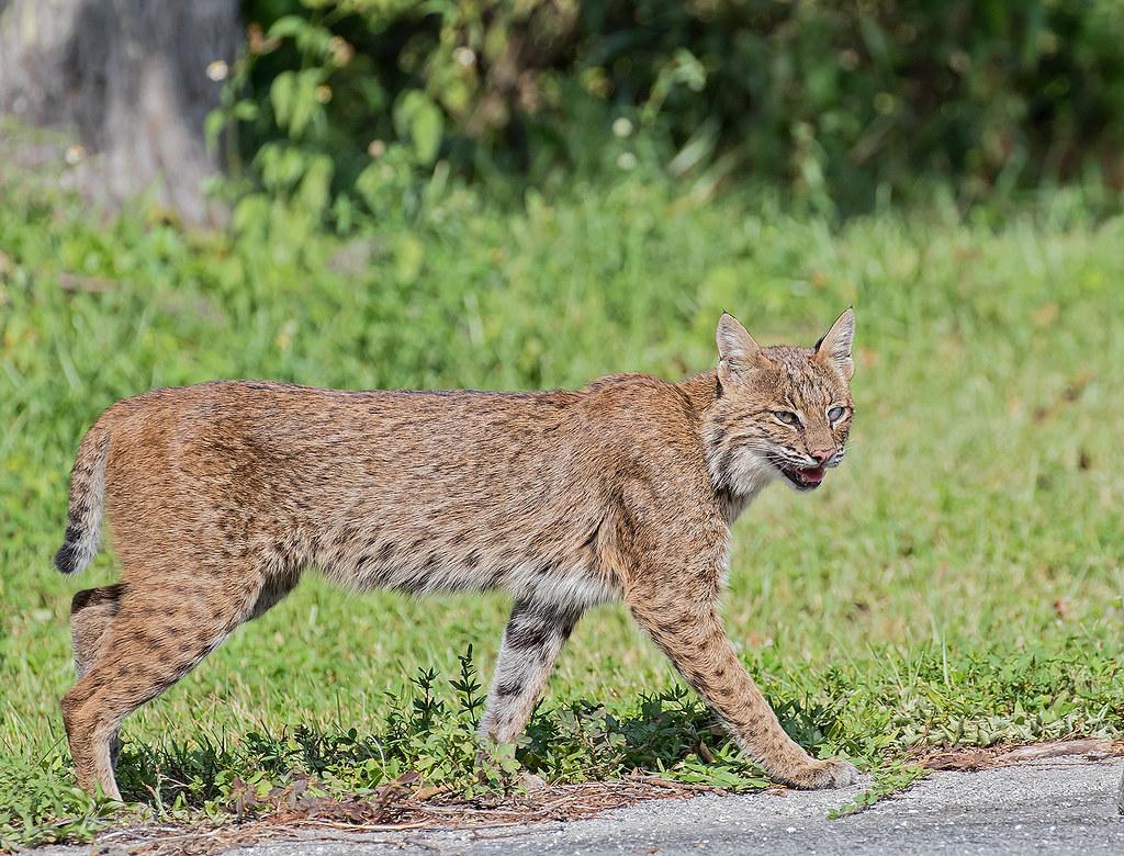 Bobcat: Felines Of North America
