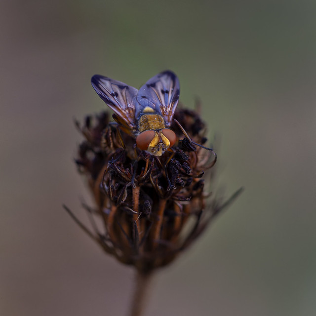 Señora mosca (ectophasia sp)