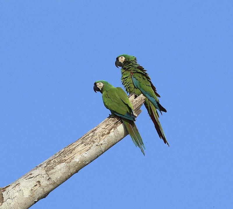 Chestnut-fronted Macaw_Ara severus_Manu_Ascanio199A1980