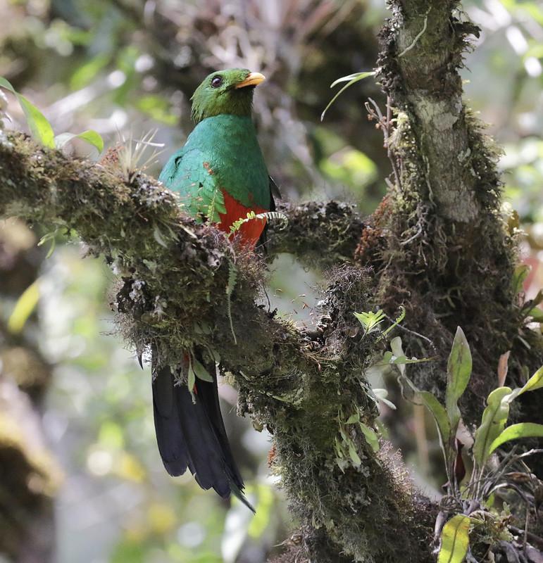 Golden-headed Quetzal_Pharocamhrus auriceps_Manu_Ascanio_199A0391