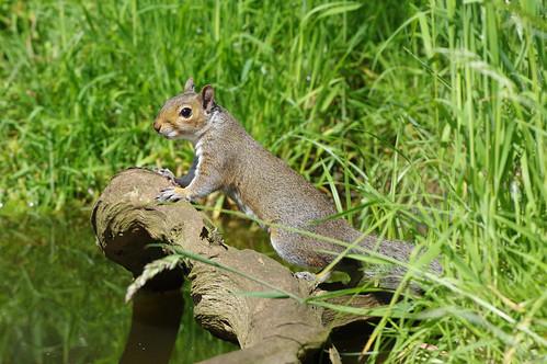 norfolk sciuruscarolinensis weeting greysquirrel mammal nature wild wildlife