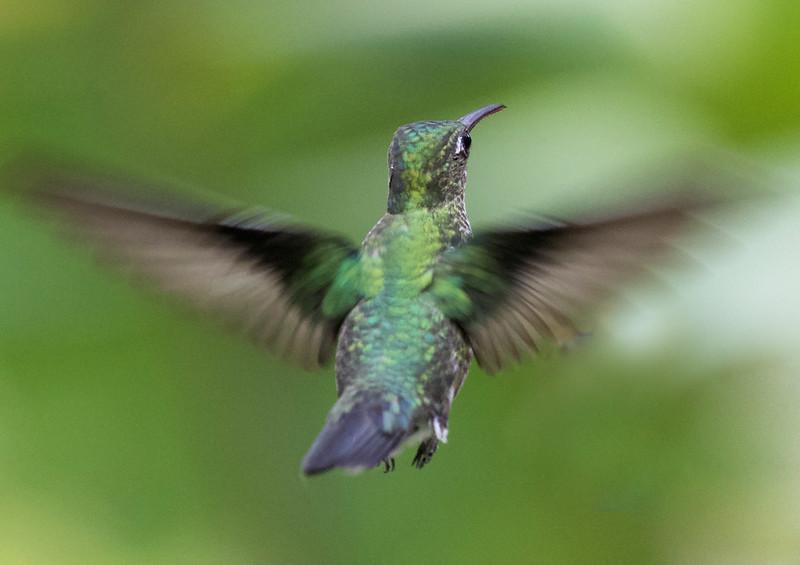 Many-spotted Hummingbird_Taphrospilus hypostictus_Ascanio_Manu_199A9877