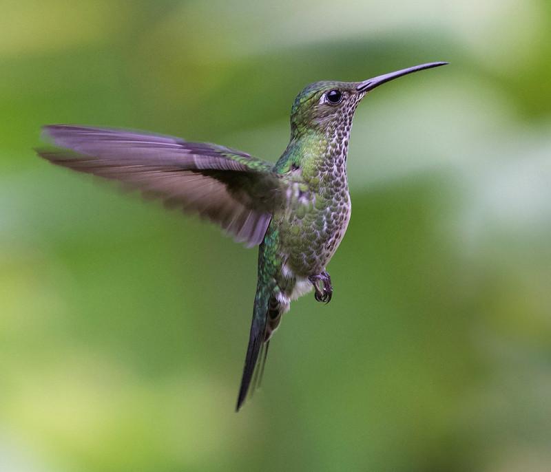 Many-spotted Hummingbird_Taphrospilus hypostictus_Ascanio_Manu_ 199A9871