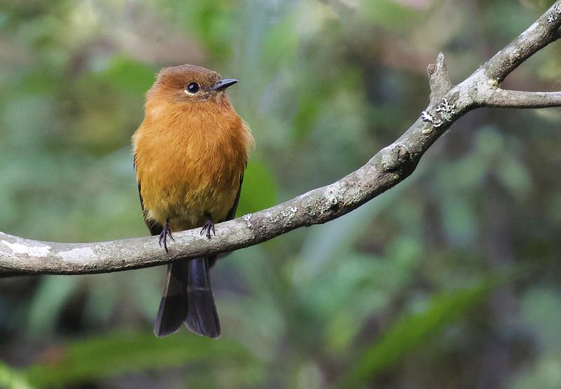 Cinnamon Flycatcher_Pyrrhomyias cinnamomeus_Ascanio_Manu_199A0125