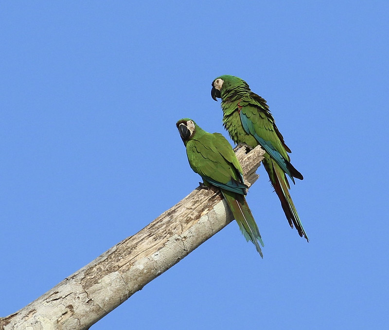 Chestnut-fronted Macaw_Ara severus_Manu_Ascanio199A1982