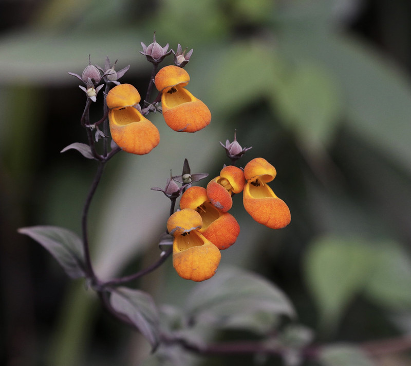 Lady's shoe flower or zapatito_Calceolaria_Manu_Ascanio_199A9188