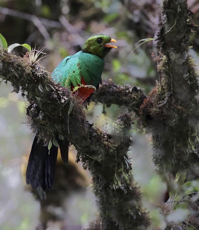 Golden-headed Quetzal_Pharocamhrus auriceps_Manu_Ascanio_199A0274