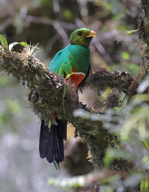 Golden-headed Quetzal_Pharocamhrus auriceps_Manu_Ascanio_199A0257