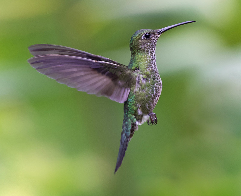 Many-spotted Hummingbird_Taphrospilus hypostictus_Ascanio_Manu_199A9873