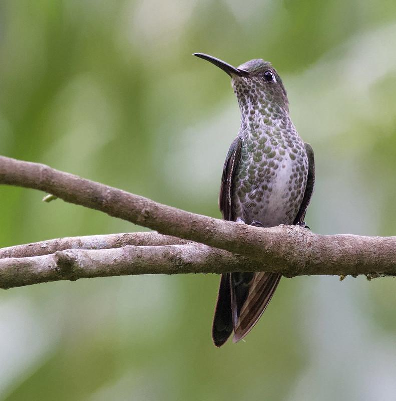 Many-spotted Hummingbird_Taphrospilus hypostictus_Ascanio_Manu_199A9847