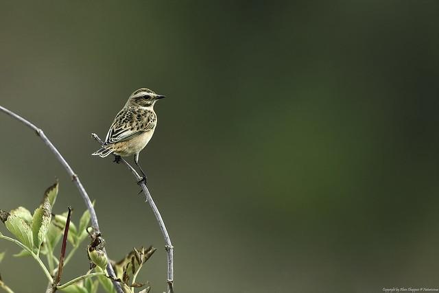 Tarier des prés (Saxicola rubetra) - Whinchat