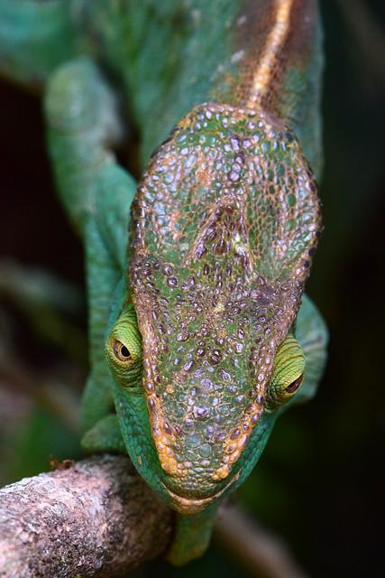 Parson's chameleon - Calumma parsonii