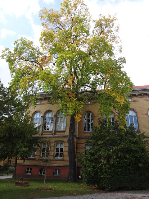 Tulpenbaum (liriodendron tulipifera) Brebacher Weg in 12683 Berlin-Biesdorf