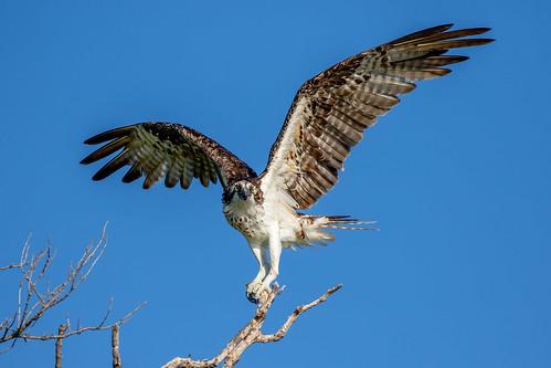 outdoor dennis adair raptor hawk flight sky nature wildlife 7dm2 7d ii ef100400mm canon florida bird
