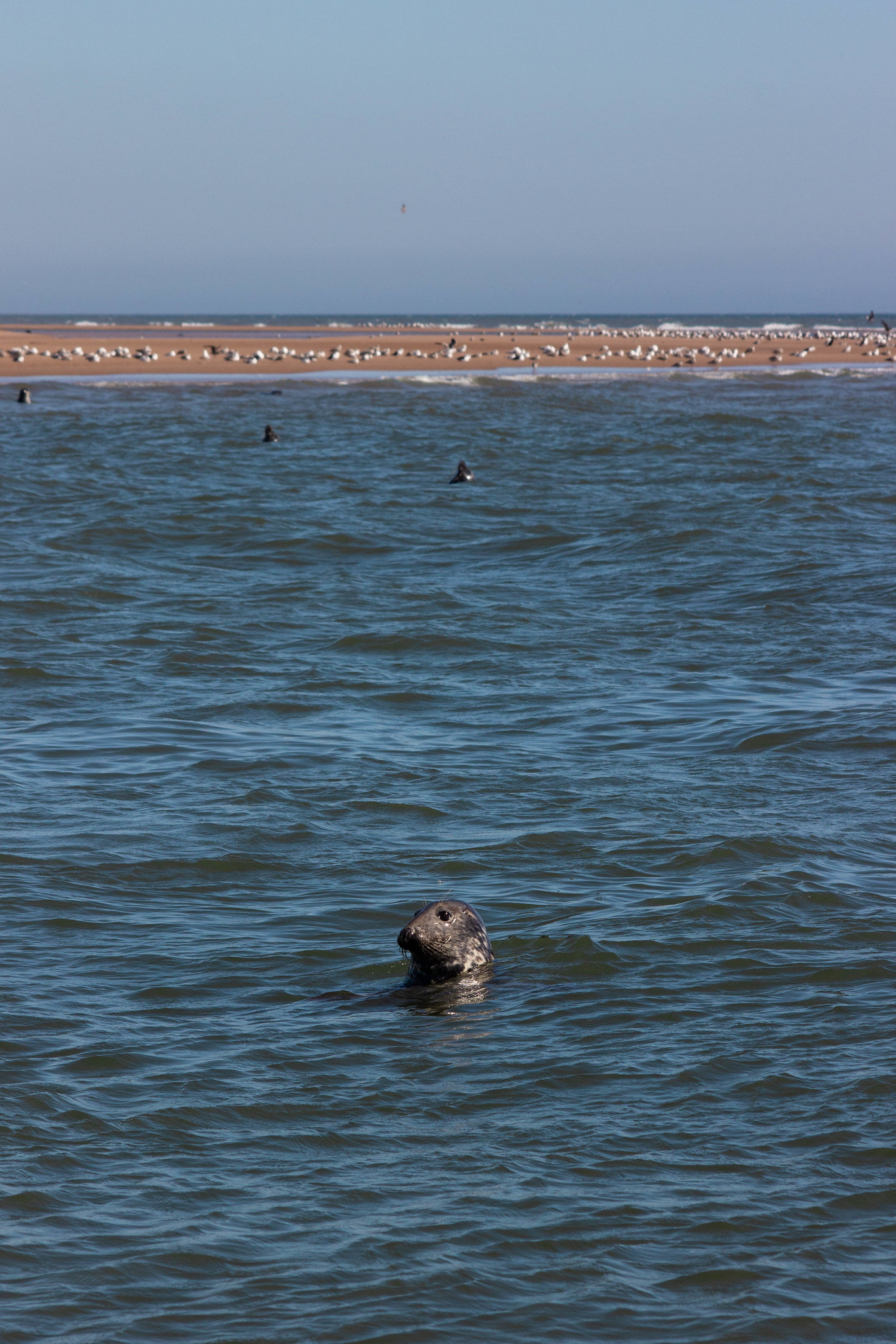 A grey seal bobbing at Newburgh Beach, Aberdeen.
