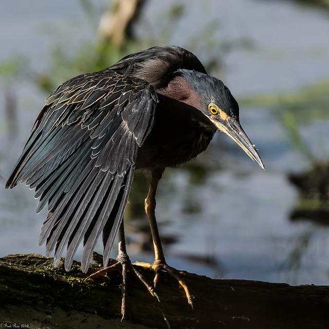 Green Heron [Butorides virescens] (Explored)