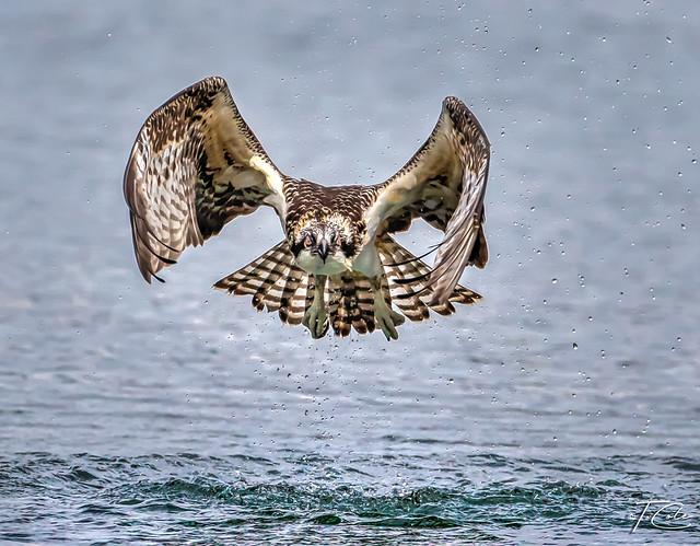 Osprey miss