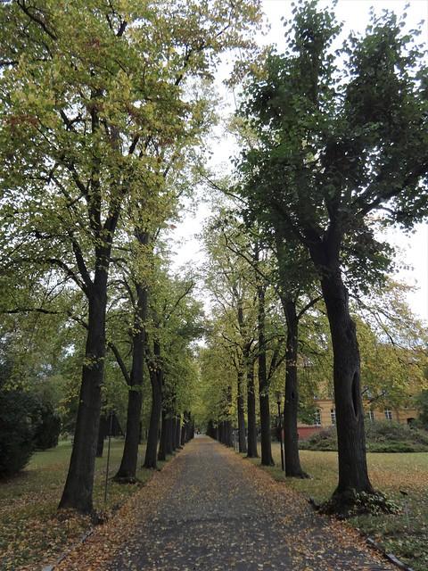 Allee von Krim-Linden (tilia euchlora) Brebacher Weg in 12683 Berlin-Biesdorf