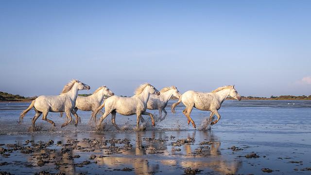 chevaux de camargue-9627