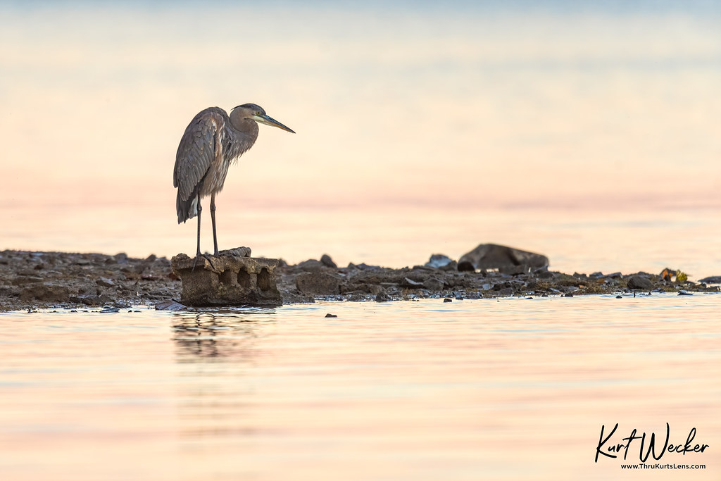 Great Blue enjoying the sunrise..