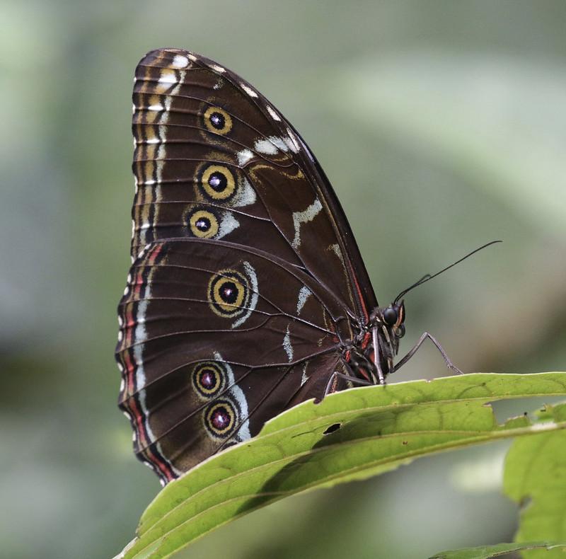 Morpho butterfly_Ascanio_MAnu_199A0884
