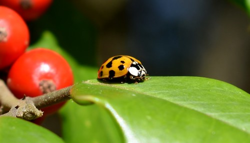 Lady Bug and Holly Berries