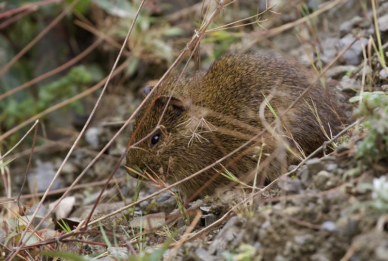 Montane Guinea Pig_Cavia tschudii_Manu_Ascanio_199A8781