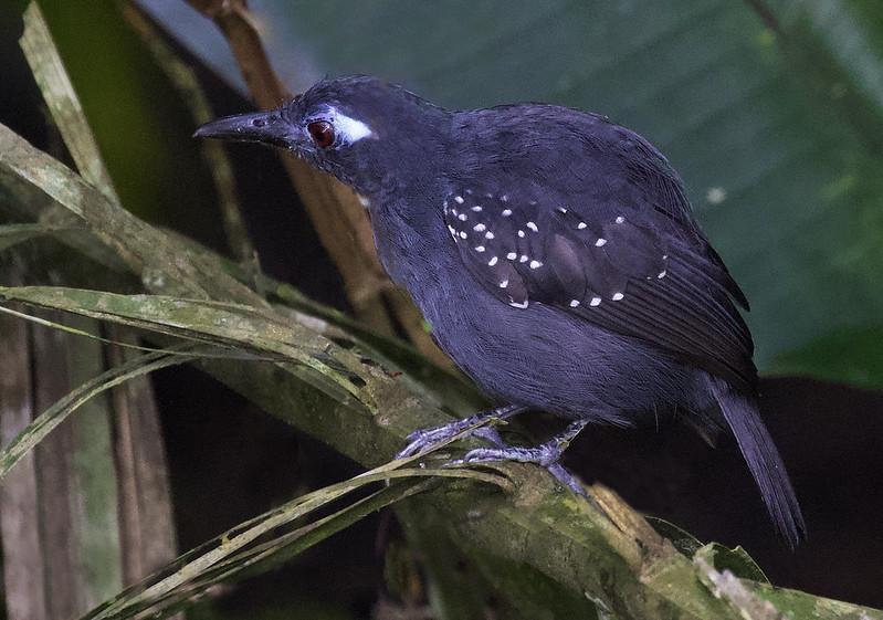 Plumbeous Antbird_Myrmelastes hyperythra_Manu_Ascanio_199A2848