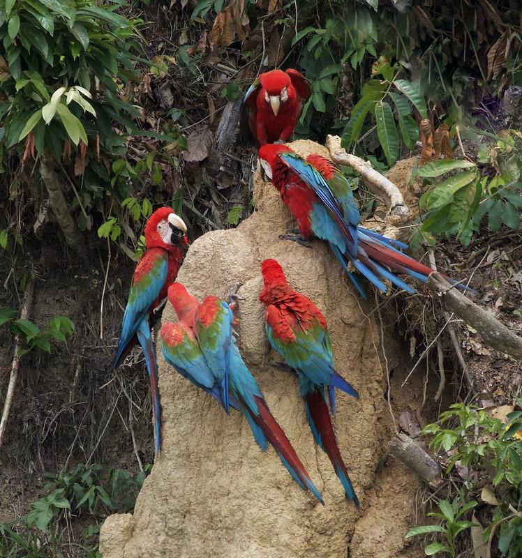Red-and-green Macaw_Ara chloropterus_Ascanio_Manu_199A2560