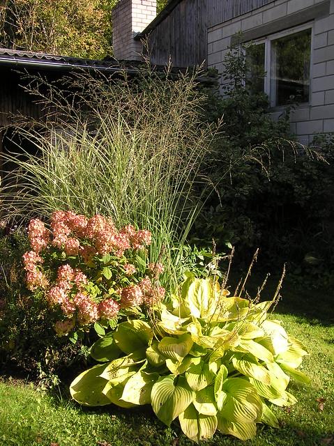 Molinia 'Karl Foerster', Miscanthus sinensis 'Variegatus', Hydrangea paniculata 'White Diamonds' & Hosta 'Sum and Substance'