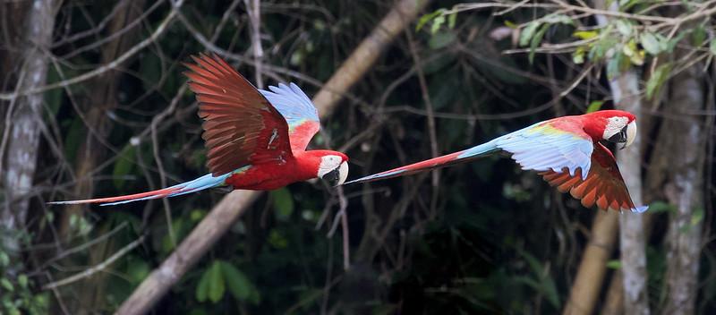 Red-and-green Macaw_Ara chloropterus_Manu_Ascanio_199A2521