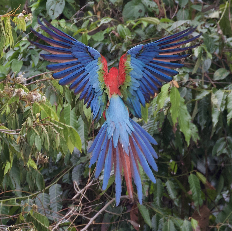 Red-and-green Macaw_Ara chloropterus_Manu_Ascanio_199A2448