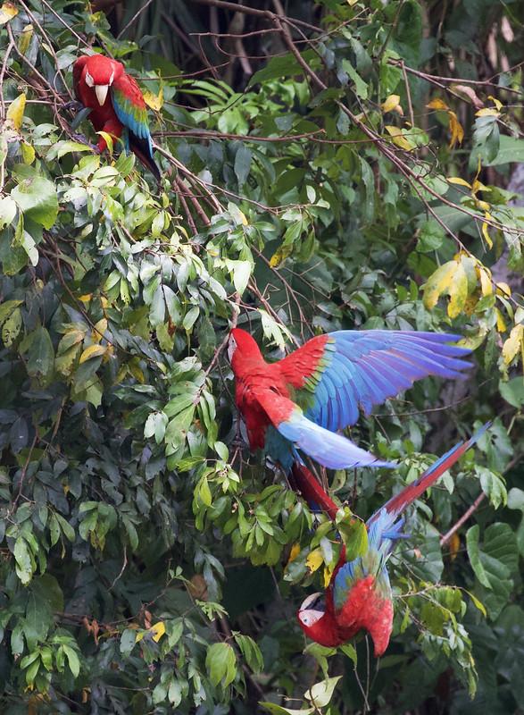 Red-and-green Macaw_Ara chloropterus_Manu_Ascanio_199A2334