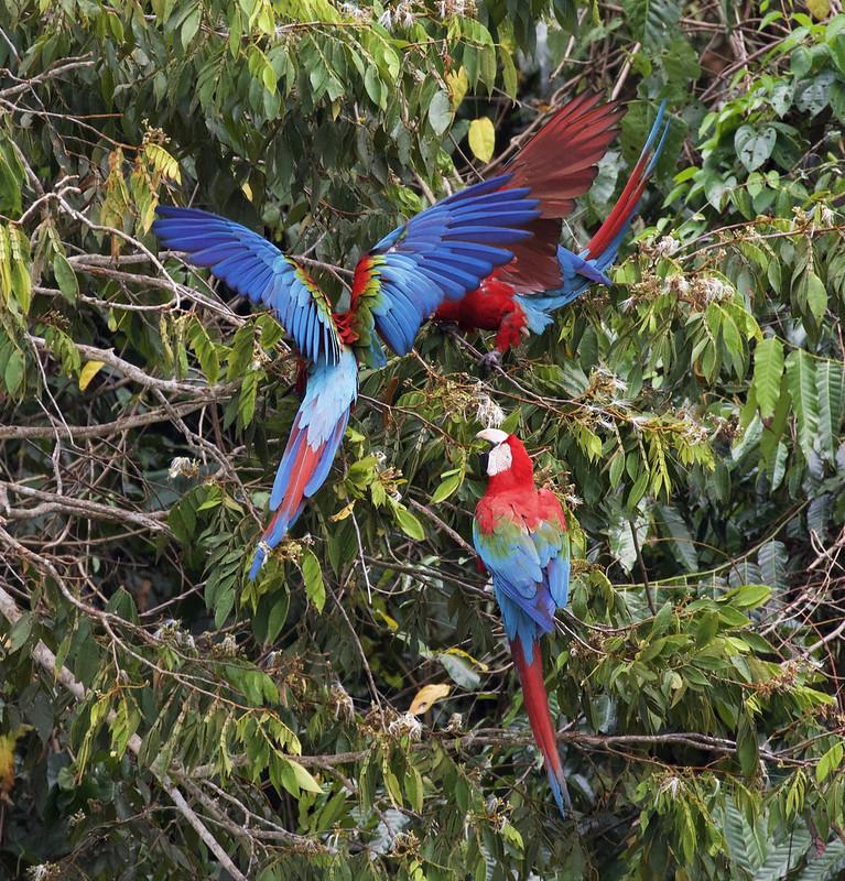 Red-and-green Macaw_Ara chloropterus_Manu_Ascanio_199A2368