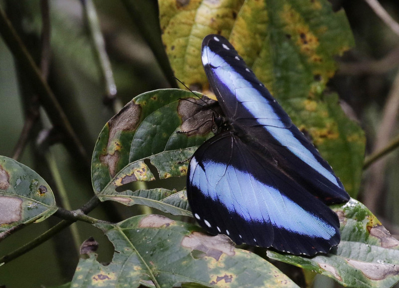 Morpho butterfly_Ascanio_MAnu_199A0866