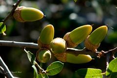 acorns 7313