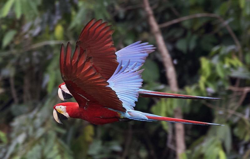 Red-and-green Macaw_Ara chloropterus_Manu_Ascanio_199A2223