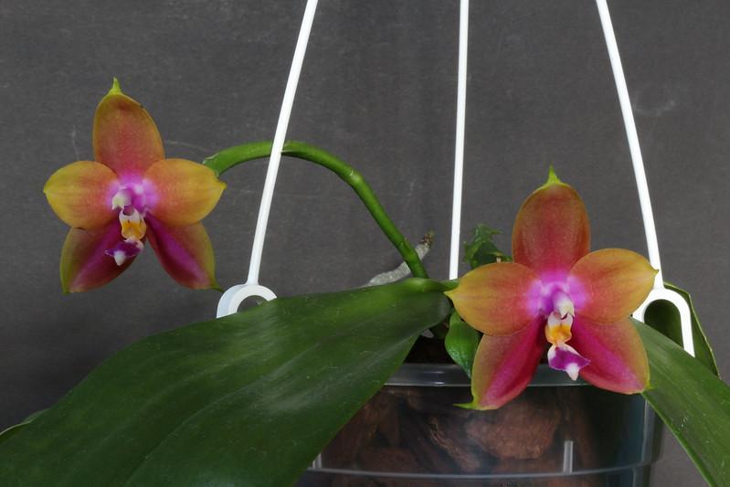 Phalaenopsis violacea x venosa (Penang Girl )  48821263698_ae19351e95_c