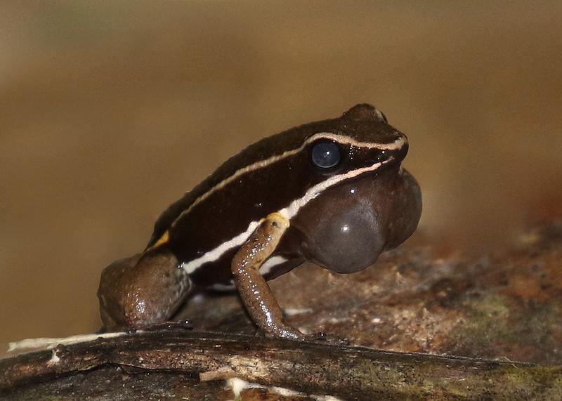Poison Dart Frog_Allobates femoralis_Manu_Ascanio_199A1854