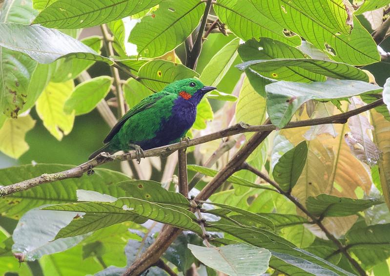 Orange-eared Tanager_Chlorochrysa calliparaea_Manu_Peru_199A9578