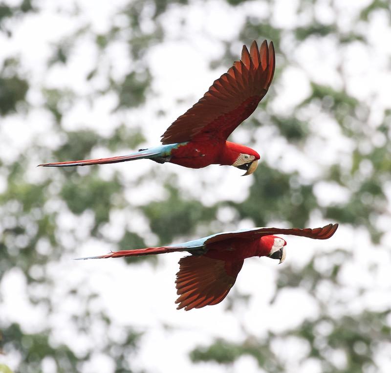 Red-and-green Macaw_Ara chloropterus_Manu_Ascanio_199A2304