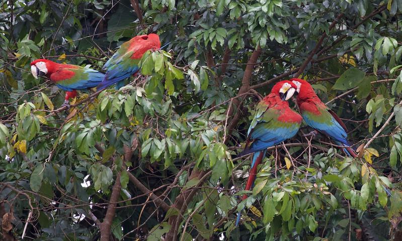 Red-and-green Macaw_Ara chloropterus_Manu_Ascanio_199A2444