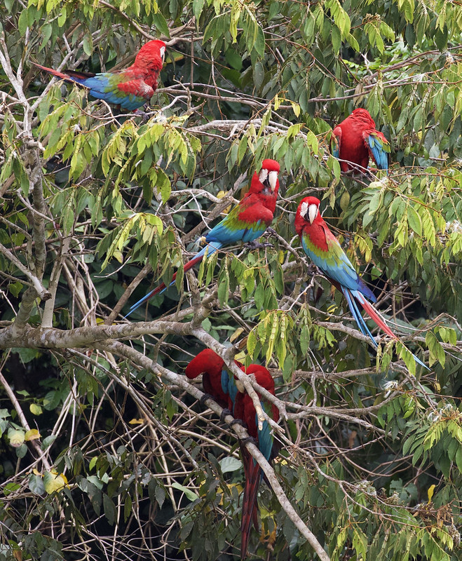 Red-and-green Macaw_Ara chloropterus_Manu_Ascanio_199A2439