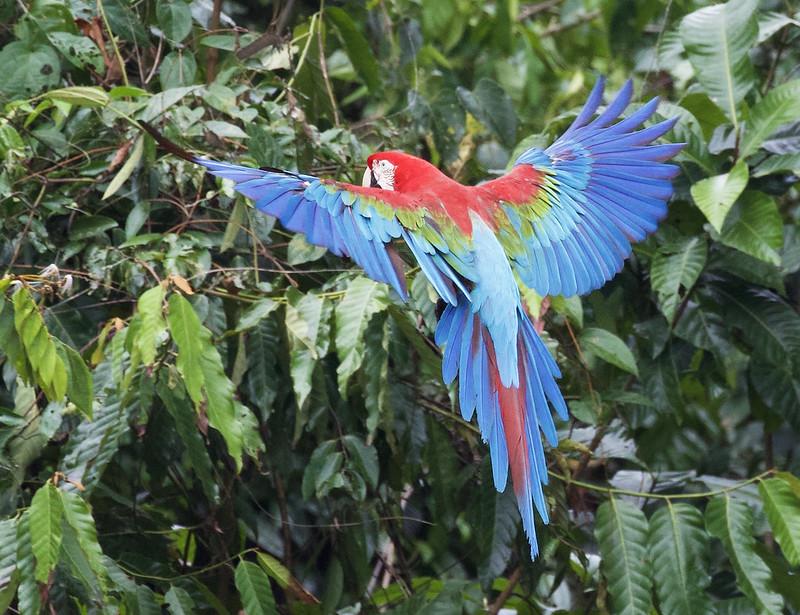 Red-and-green Macaw_Ara chloropterus_Manu_Ascanio_199A2437