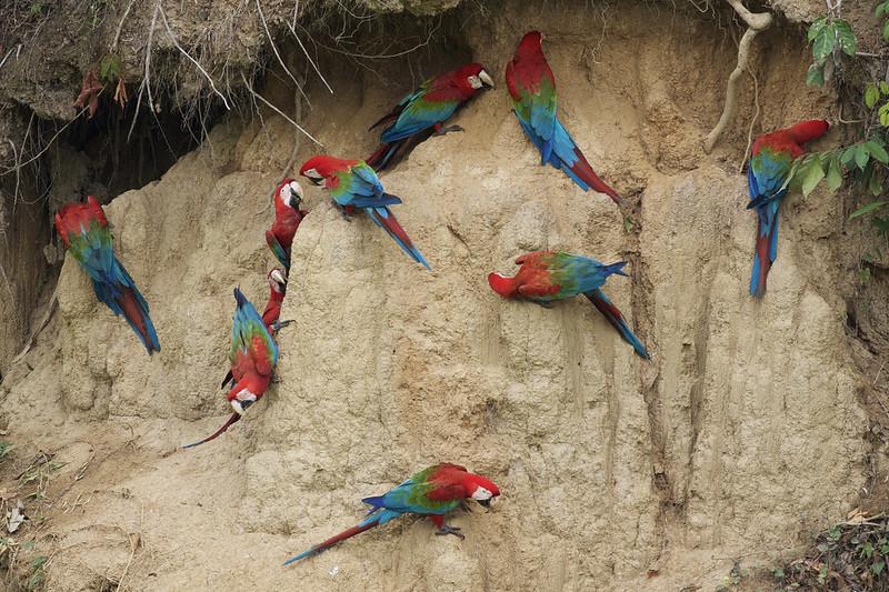 Red-and-green Macaw_Ara chloropterus_Manu_Ascanio_199A2572