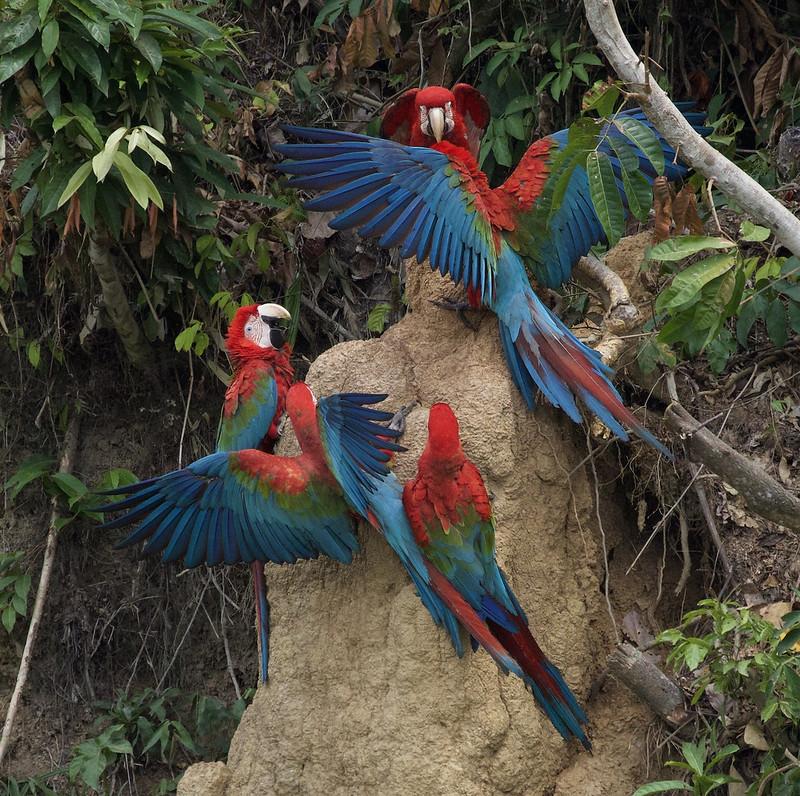 Red-and-green Macaw_Ara chloropterus_Manu_Ascanio_199A2559