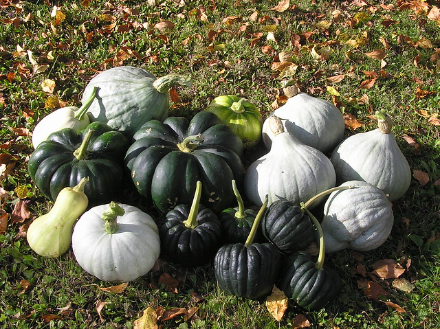 Winter squashes