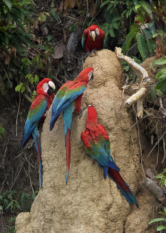 Red-and-green Macaw_Ara chloropterus_Manu_Ascanio_199A2558