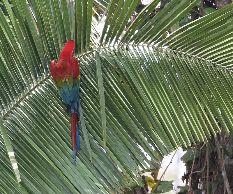 Red-and-green Macaw_Ara chloropterus_Manu_Ascanio_199A2527